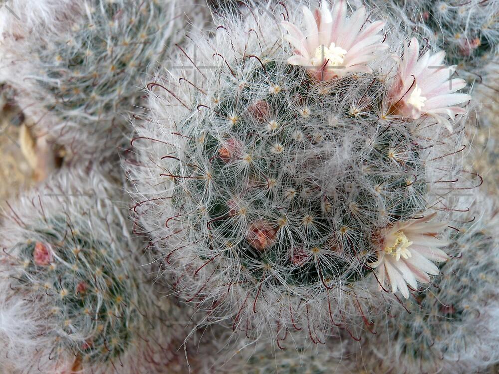 Silky Soft Cactus Flowers by Hekla Hekla