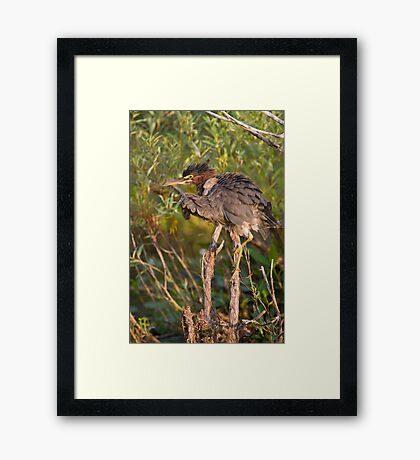 Green Heron, all puffed up   Framed Print