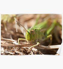 Common Green Grasshopper Poster