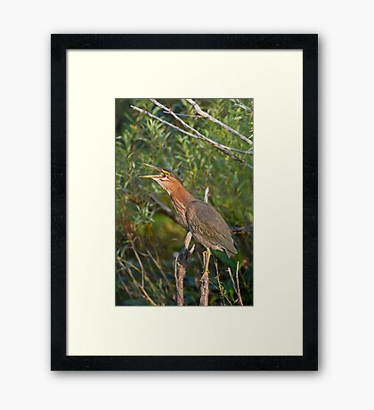 Qwawk... calling all herons Framed Print