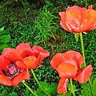 Rote Mohnblumen von Shulie1