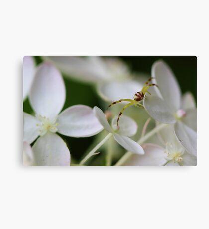 Hydrangea Flower - Yellow Spider Canvas Print