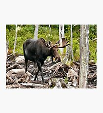 Bull Moose In Velvet Photographic Print