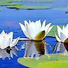 ...As lilies by the rivers of waters ... by kindangel