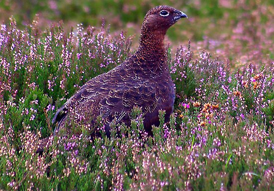 Grouse #3 by Trevor Kersley