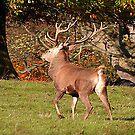 Red Deer Stag by Trevor Kersley