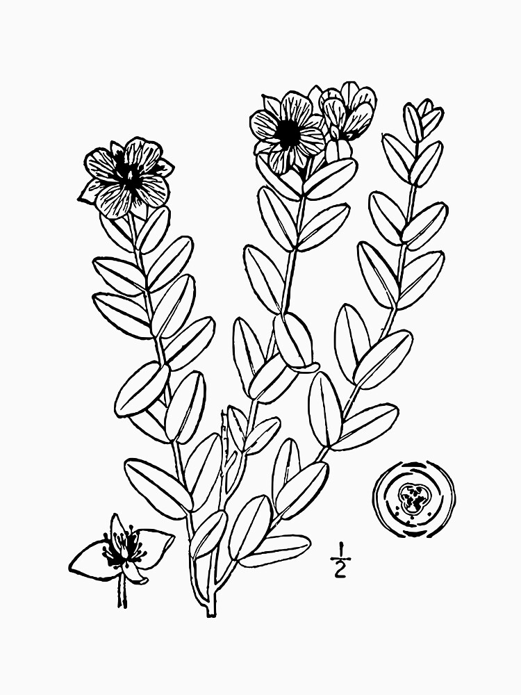 Copy of Botanical Scientific Illustration Black and White Hypericum by pahleeloola