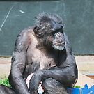 Chimp in box City by Elaine123