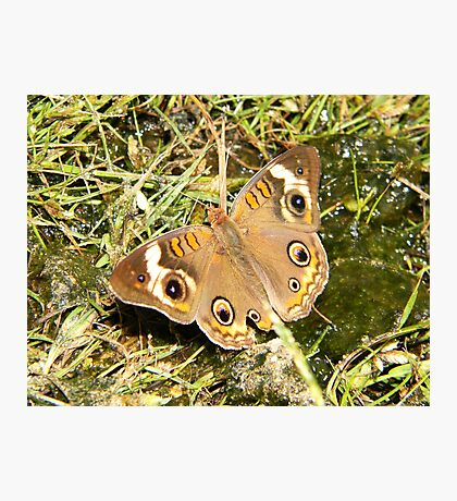 A Common Buckeye. Photographic Print