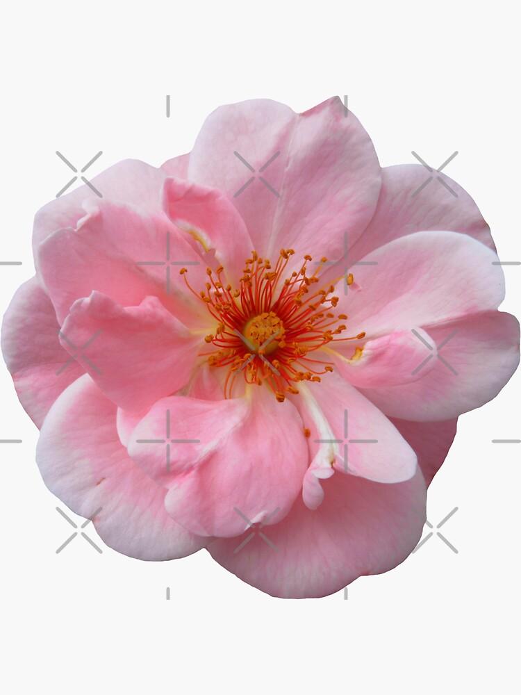 wundervolle rosa Rose, Rosen von rhnaturestyles