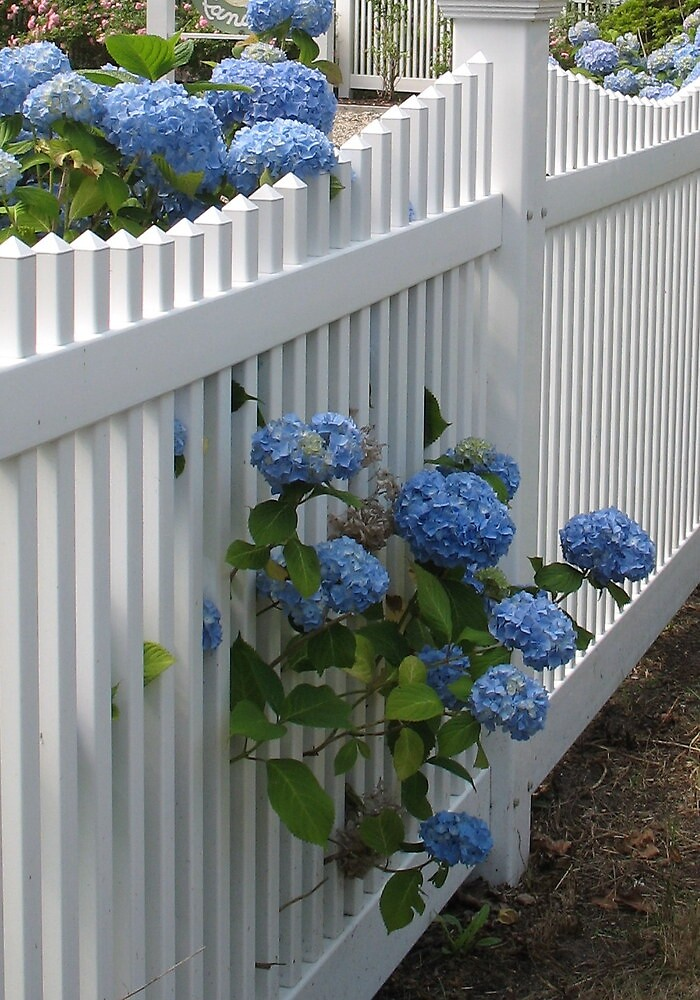 Quot White Picket Fence With Blue Hydrangeas Quot By Joan Harrison