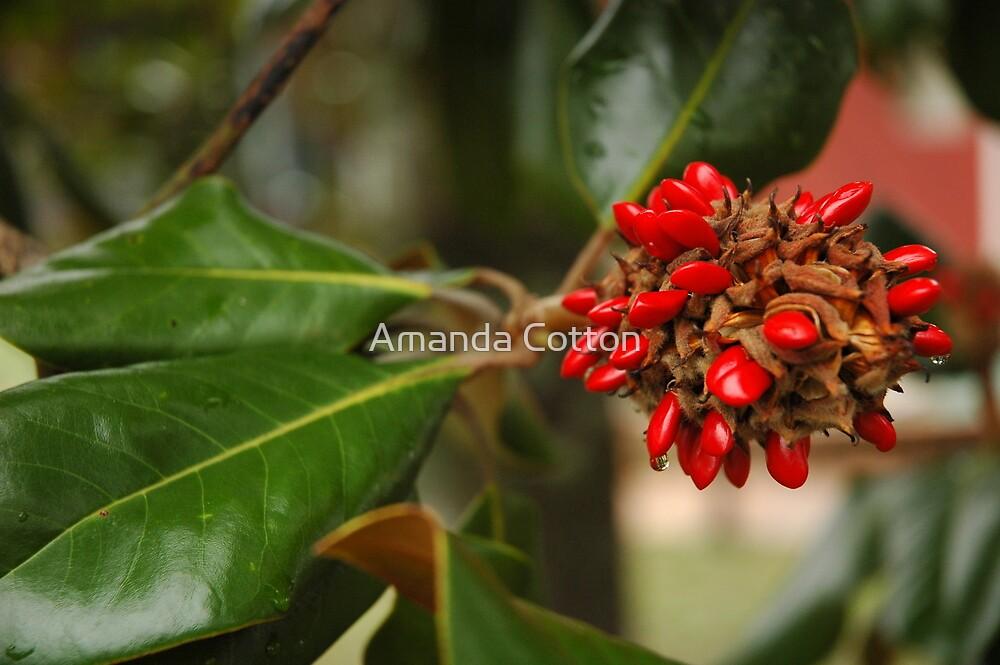 Magnolia seeds by Amanda Cotton