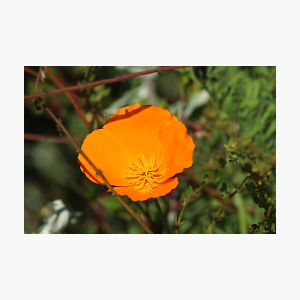 California Poppy Photographic Print