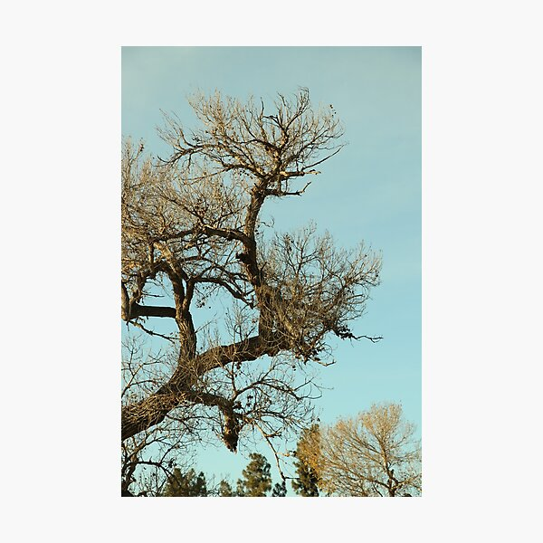 Cottonwood Tree in Winter Photographic Print