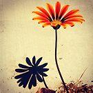 Orange Gerber and Shadow by Sonia Keshishian