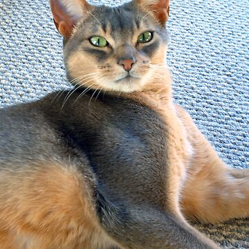 Generic Abyssinian Blue Male Cat  by zavi