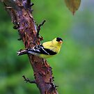 Golden Finch 2010 by Deborah  Benoit