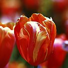 Orange Tulip by D R Moore