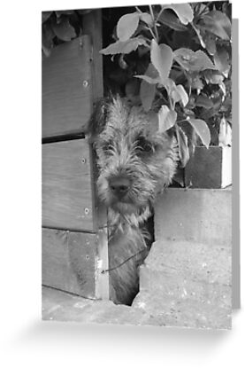 Manic Border Terrier by John Honeyman