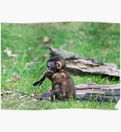 Barbary Monkeys,Primates, Small, young, babies, Animals,  Poster