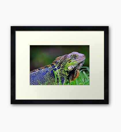 Green Iguana (Iguana iguana) - Costa Rica Framed Print