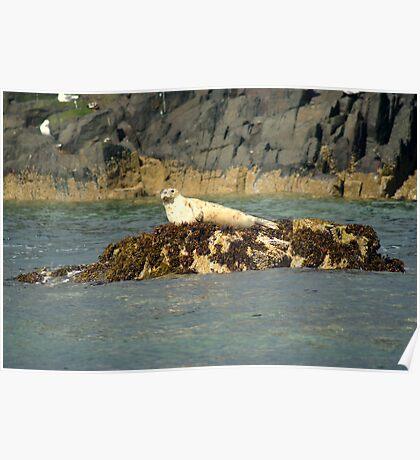 Grey Seal Pup ~ Farne Islands ~ Poster