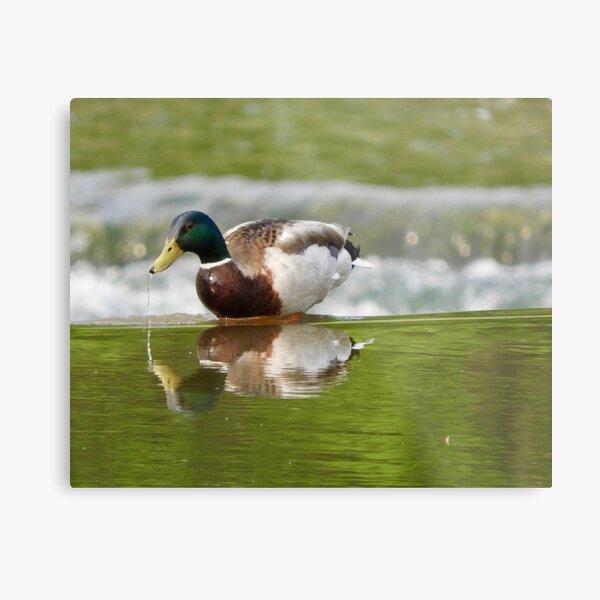 Mallard Duck Drip Metal Print