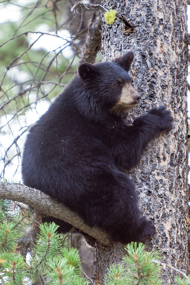 Baby Bear Cub in the Tree by Jim Stiles