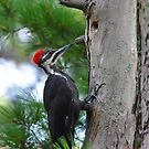 Juvenile Pileated Woodpecker by Nancy Barrett