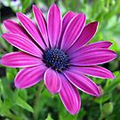 Deep Pink Cape Daisy Soaking up the Sunshine by BlueMoonRose