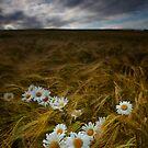 Daisies and Barley by Kathy Wright