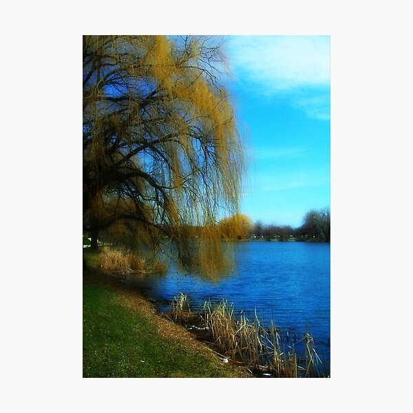 My Weeping Willow Tree ©  Photographic Print