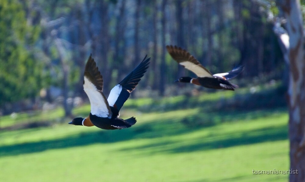 Shelduck by tasmanianartist