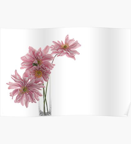 Lady Gilmour Double Japanese Anemones Poster