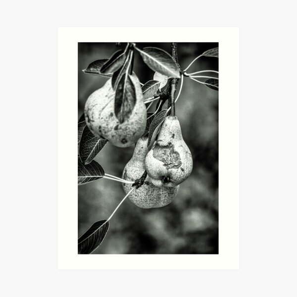 Home grown pears in black and white Art Print