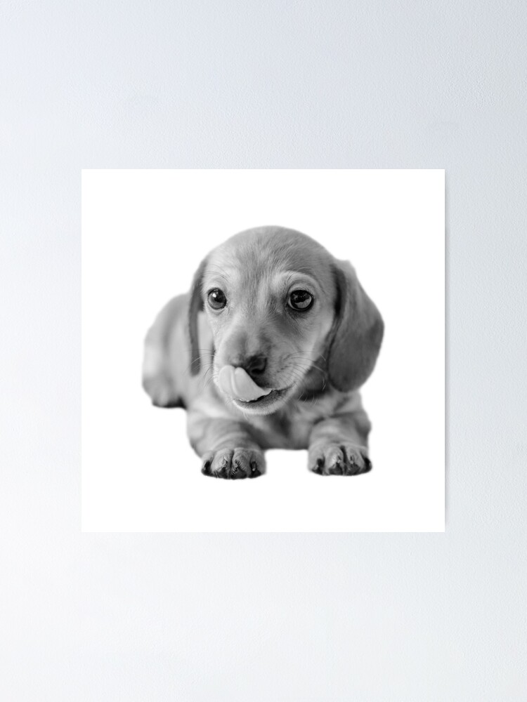 Alternate view of Little Cute Dachshund Puppy Poster