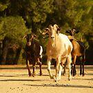 Skiathos goats by Sturmlechner