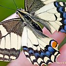 Swallowtail on the photographer's Hand. Swallowtail, Papilio machaon by pogomcl