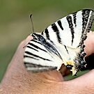 Scarce Swallowtail, Iphiclides podalirius,  on the photographer's hand A by pogomcl