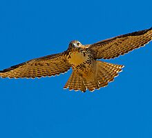 082810 Red Tailed Hawk by Marvin Collins