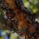 ♥ ♥ ♥  Bark of birch ♥ ♥ ♥ - Norway august 2010. Brown Sugar story. Views (311) Thx!. by © Andrzej Goszcz,M.D. Ph.D