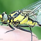 Emerging Common Clubtail, Gomphus vulgatissimus on photographer's hand.B by pogomcl