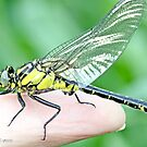 Emerging Common Clubtail, Gomphus vulgatissimus on photographer's hand.C by pogomcl