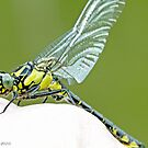 Emerging Common Clubtail, Gomphus vulgatissimus on photographer's hand.D by pogomcl