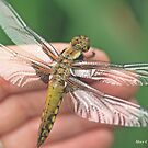 Broad-bodied Chaser on the photographer's hand B by pogomcl