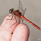 Sympetrum sanguineum, Ruddy Darter brings a  gift to photographer's finger by pogomcl