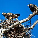 Black Breasted Buzzards by Richard  Windeyer