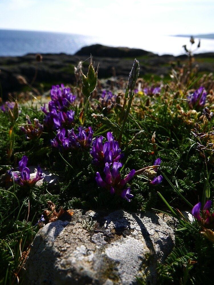 Purple Milk Vetch (Astragalus danicus) by IOMWildFlowers
