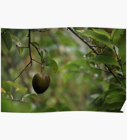 Pond Apple Poster