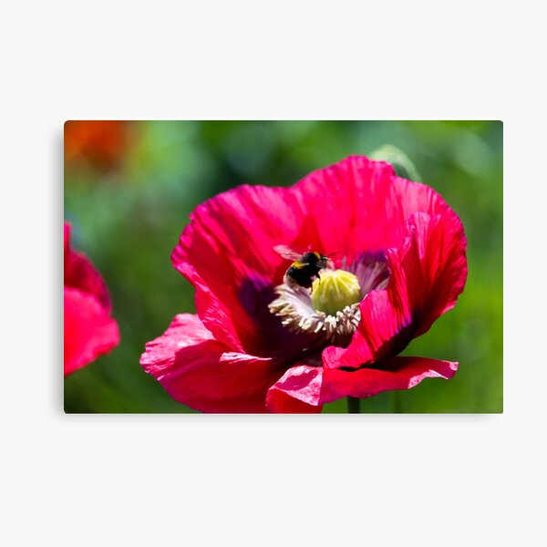 Pollen collecting  Canvas Print